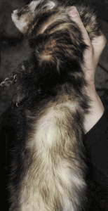 furet poil mi-long semi-angora zibeline